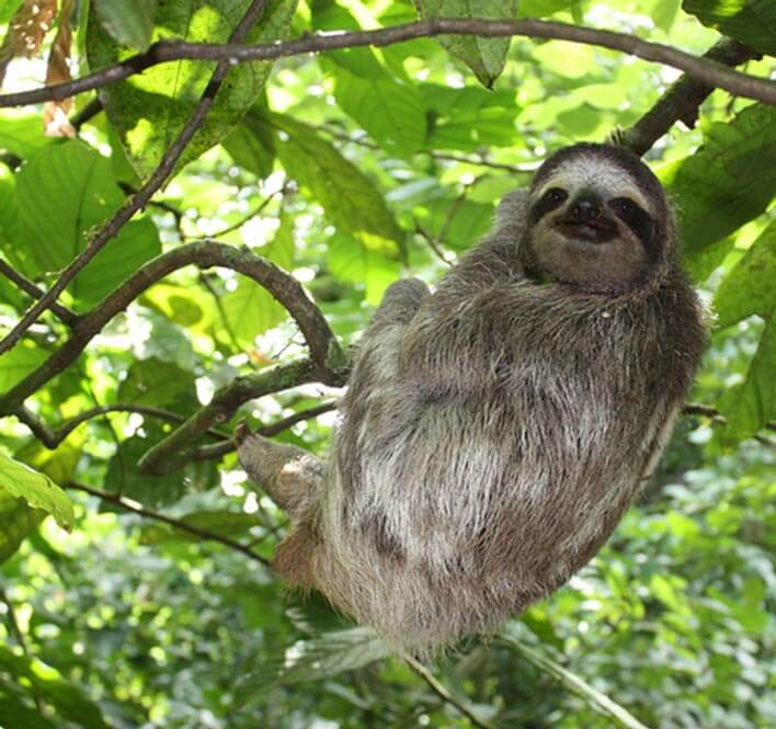 sloth in costa rica_internships